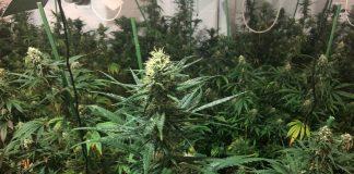 Decomís plantes de marihuana al carrer de Pere Puig